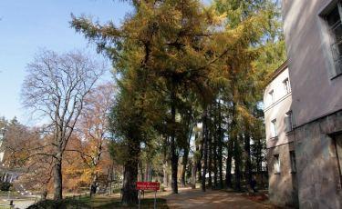 Aleja Modrzewiowa (Fot. mateo)